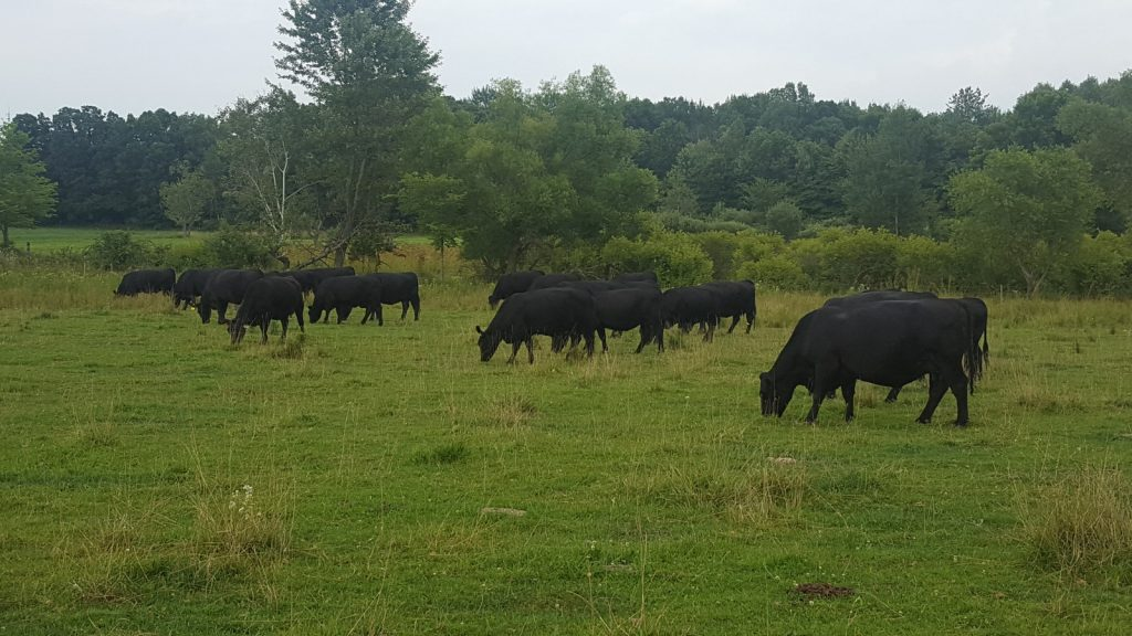 Maple Side Farm Angus Cattle on Pasture